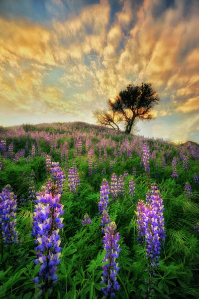 Wall Art - Photograph - Lupine On Lupine by Nicki Frates