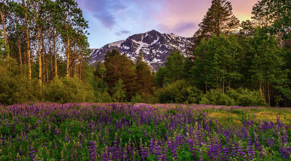 Photograph - Lupine Spring By Mike Breshears by Mike Breshears
