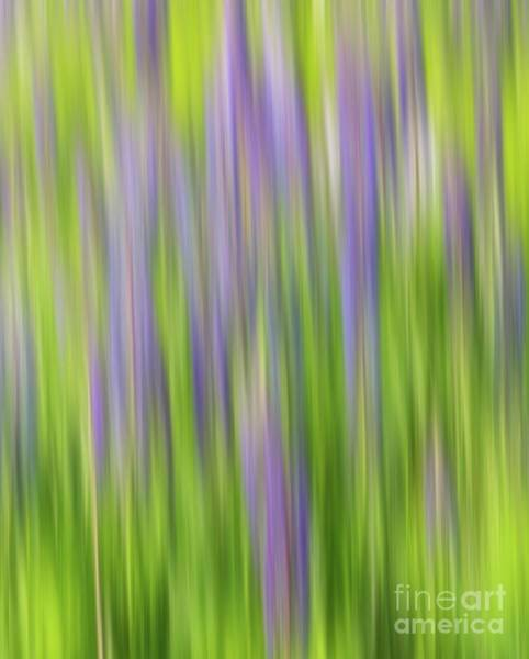 Photograph - Lupine Stripes by Karin Pinkham