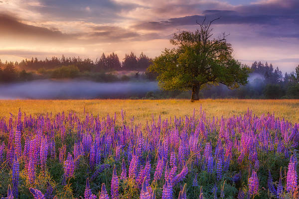 Lupines Photograph - Lupine Sunrise by Darren White