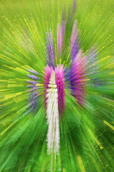Photograph - Lupine Swirl by Michael Blanchette