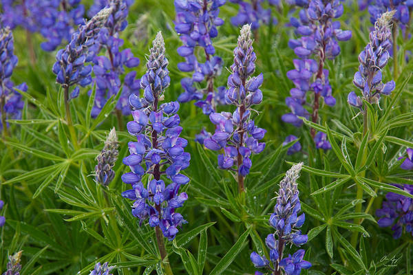 Wall Art - Photograph - Lupine Wildflowers by Aaron Spong