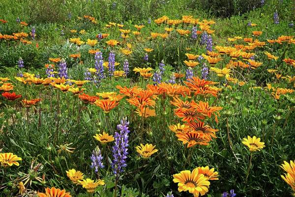 Photograph - Lupines And Gazanias In Porter Ranch by Lynn Bauer