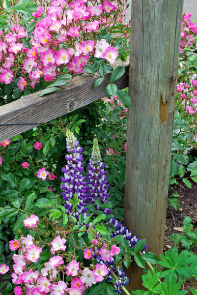 Wall Art - Photograph - Lupines And Roses by Linda Sramek