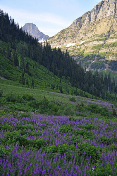 Photograph - Lupines In Glacier National Park by Bruce Gourley