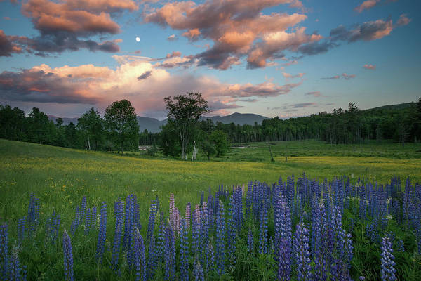 Moon Flower Photograph - Lupines Under The Moon by Darylann Leonard Photography