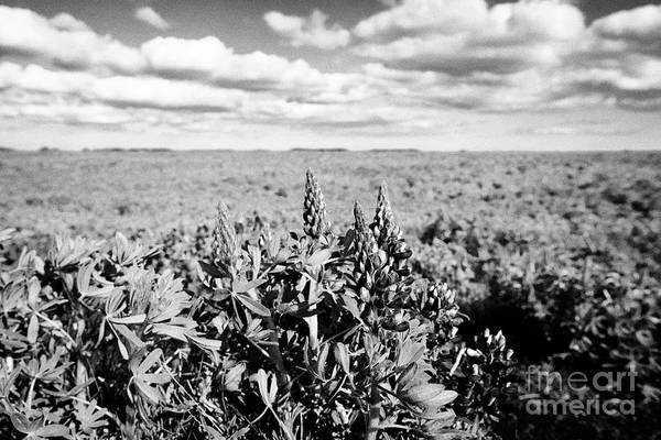 Wall Art - Photograph - lupins lupinus nootkatensis growing wild near vik southern Iceland by Joe Fox
