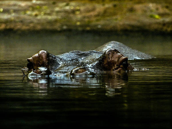 Photograph - Hippopotamus by Miles Whittingham