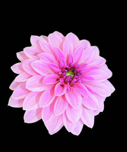 Luscious Layers Of Pink Beauty Art Print