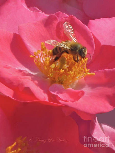 Analogous Color Photograph - Luscious Rose With A Bee by Nancy Lee Moran