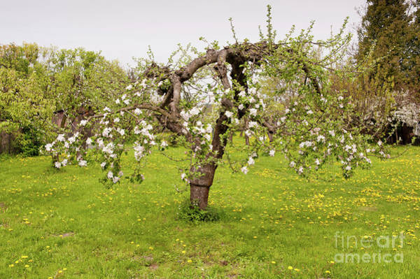 Wall Art - Photograph - Lush Blooming Apple Tree by Arletta Cwalina