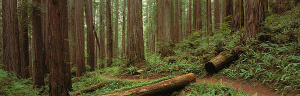 Sequoia Grove Photograph - Lush Forest With Path, Jedediah Smith by Panoramic Images