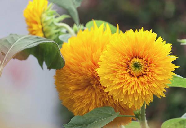Wall Art - Photograph - Lush Sunflowers by Suzanne Gaff