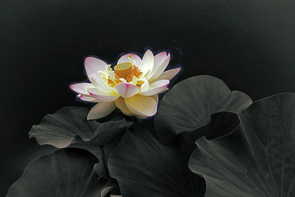 Pink Lotus Flower Photograph - Illuminate The Darkness by Jessica Jenney