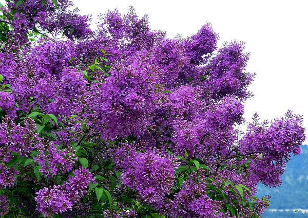 Flawless Photograph - Luxurious Lilacs by Will Borden