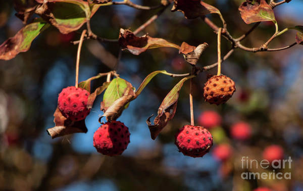 Photograph - Lychees by Jeff Breiman