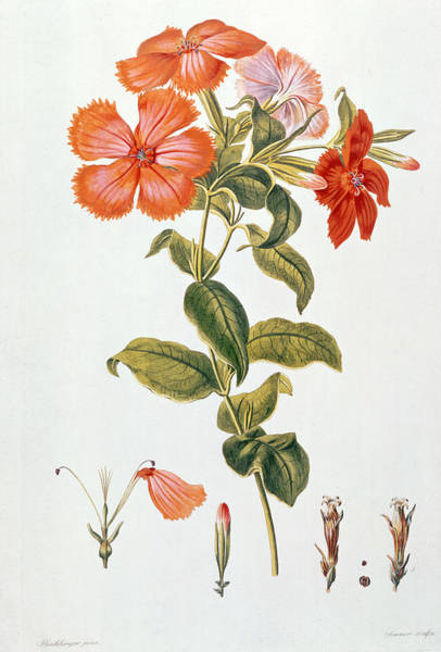 Botanical Painting - Lychnis Coronaria by Leopold Trattinick