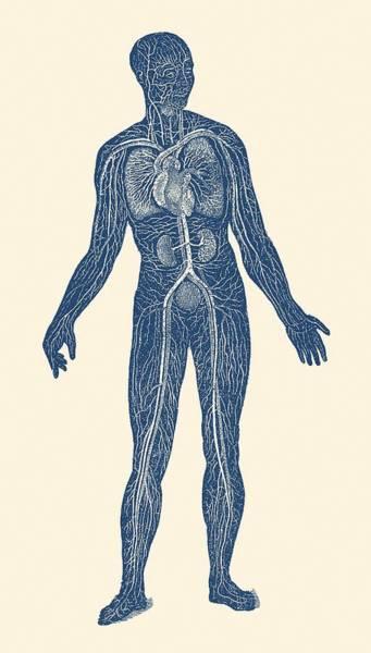 Nerves Drawing - Lymphatic And Circulatory System - Vintage Anatomy by Vintage Anatomy Prints