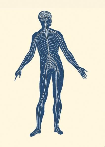 Nerves Drawing - Lymphatic System - Vintage Anatomy Poster by Vintage Anatomy Prints