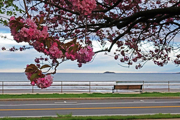 Photograph - Lynn Shore Drive Spring Cherry Blossoms Lynn Ma Close by Toby McGuire