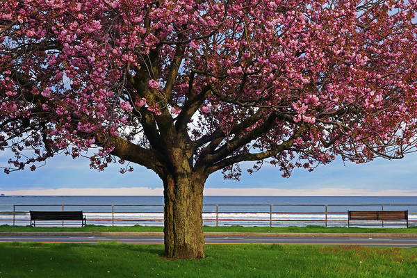 Photograph - Lynn Shore Drive Spring Cherry Blossoms Lynn Ma by Toby McGuire