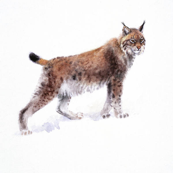 Painting - Lynx by Attila Meszlenyi