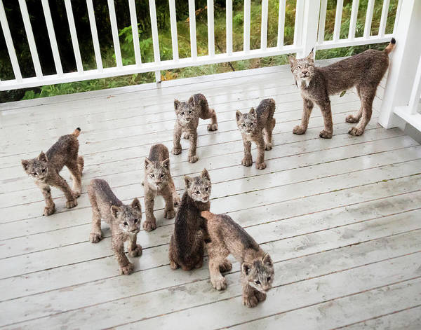 Photograph - Lynx Family Portrait 11x14 by Tim Newton
