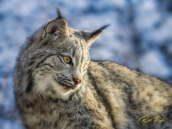 Photograph - Lynx From Above by Rikk Flohr