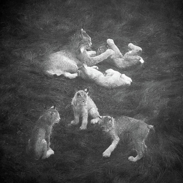 Photograph - Lynx In The Mist Bw by Tim Newton
