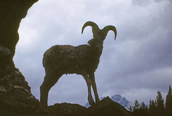 Photograph - Ma-294 Silhouette Of Bighorn Sheep by Ed  Cooper Photography
