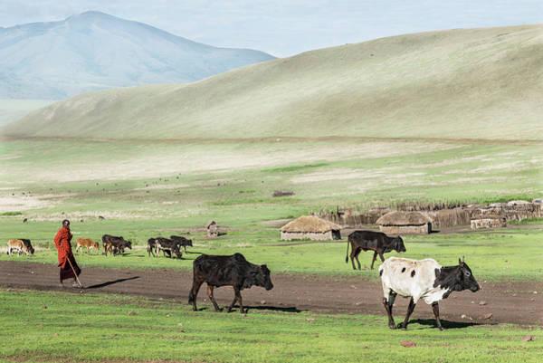 Photograph - Maasai Shepherd With Herd Of Cows In Ngorongoro Area by RicardMN Photography
