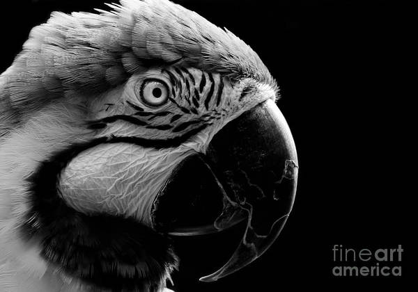 Macaw Parrot Portrait Black And White Art Print