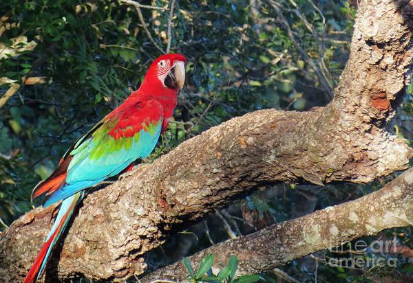 Macaw Resting Art Print