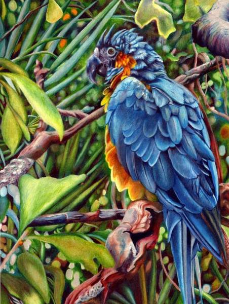 Blue Parrot Drawing - Macaw by Sonja Oldenburg
