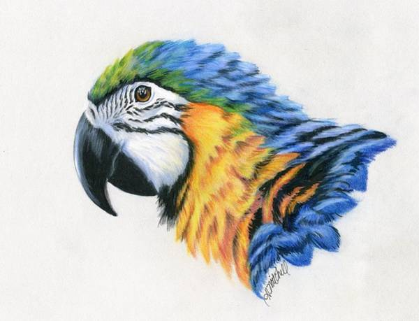 Blue Parrot Drawing - Macaw Study by Heather Mitchell