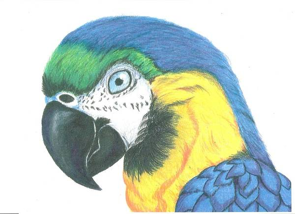 Green Parrot Drawing - Macaw With White Background by Ricardo Gonzalez