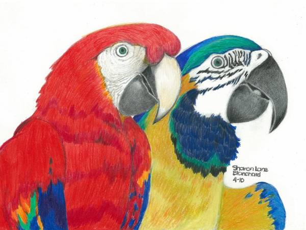 Green Parrot Drawing - Macaws In Living Color by Sharon Blanchard