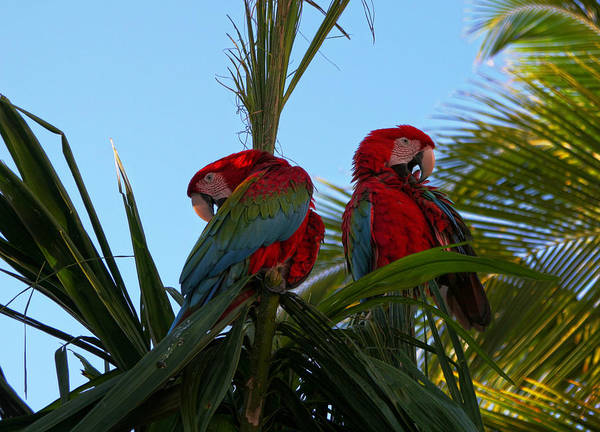 Photograph - Macaws by Robert Och