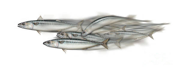 Painting - Mackerel School Of Fish - Scomber - Nautical Art - Seafood Art - Marine Art -game Fish by Urft Valley Art
