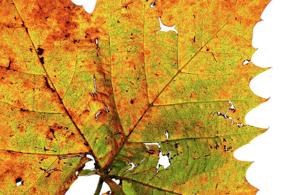 Photograph - Macro Autum by Grace Dillon