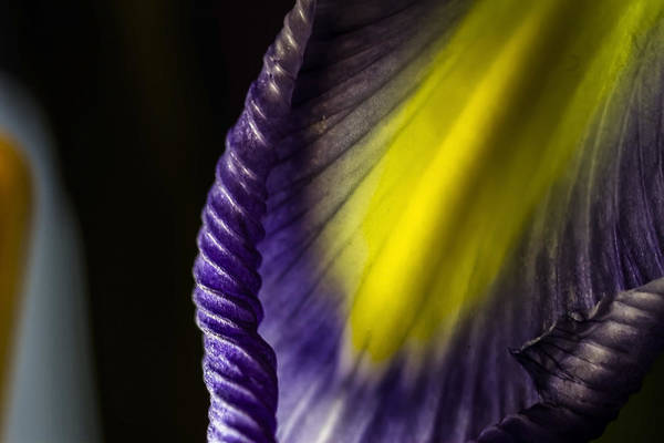 Photograph - macro Iris abstract by Sven Brogren