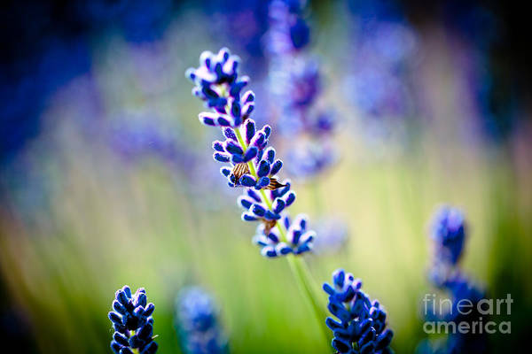 Photograph - Macro Lavander Flowers In Lavender Field Artmif by Raimond Klavins