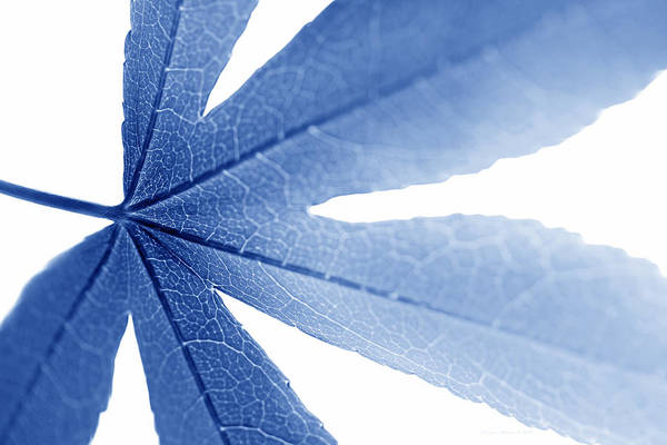 Wall Art - Photograph - Macro Leaf  Blue by Jennie Marie Schell