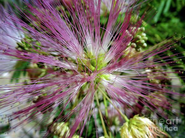 Photograph - Macro Mimosa Blossom by D Hackett