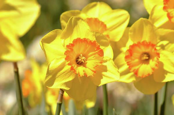 Dafodil Photograph - Macro Of Yellow Daffodils Close Up by Brandon Bourdages