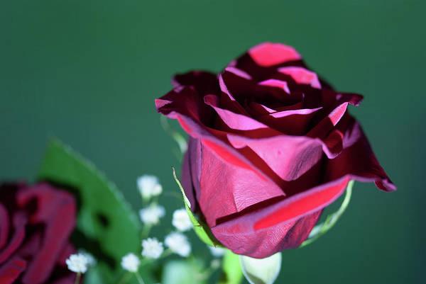 Photograph - Macro Rose - 1106 by G L Sarti