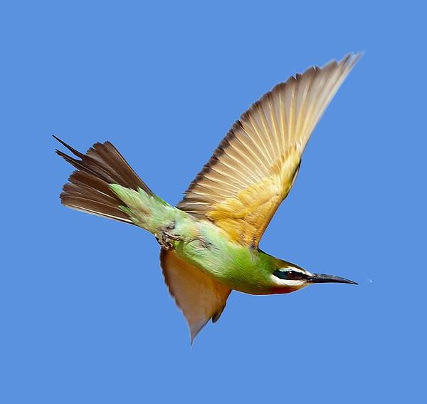 Photograph - Madagascar Bee-eater T-shirt by Tony Mills