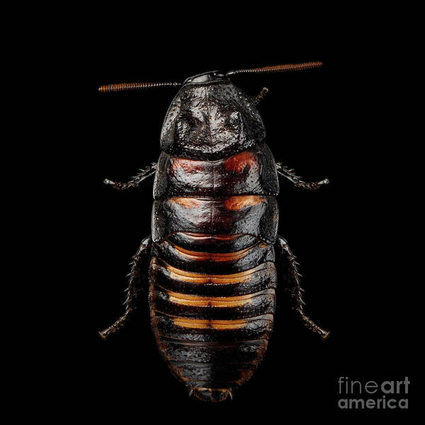 Photograph - Madagascar Hissing Cockroach by Sergey Taran