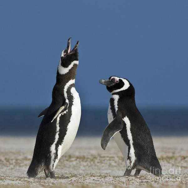 Squawk Photograph - Magellanic Penguins by Jean-Louis Klein & Marie-Luce Hubert