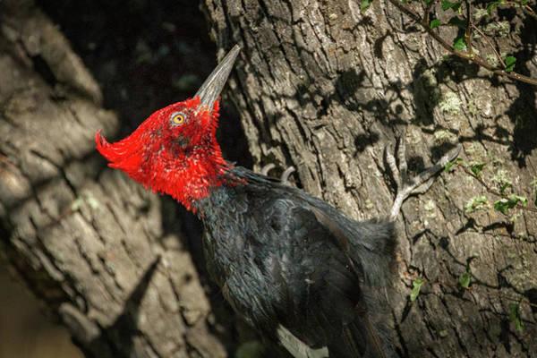 Photograph - Magellanic Woodpecker - Patagonia by Stuart Litoff